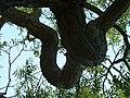 Kew Gardens Pagoda Tree P1170596.JPG