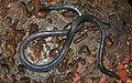 Khaire's Black Shieldtail Melanophidium khairei by Dr. Raju Kasambe DSCN1145 (26).jpg