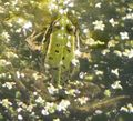 Kikkercamouflage.JPG
