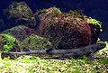 Kleingefleckter Katzenhai.jpg