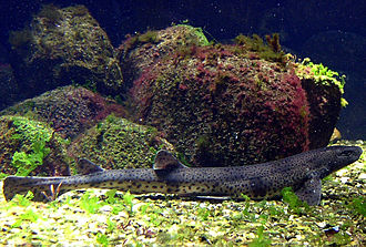 Small-spotted catshark - Adult in aquarium