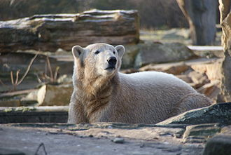 Knut (polar bear) - Knut at the age of two years in December 2008