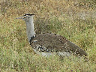 English: Kori Bustard ( Ardeotis kori ), female, Serengeti National
