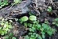 Korina 2017-04-09 Impatiens parviflora 3.jpg
