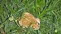 Kreuzkröte in der Wiese.jpg