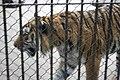 Kunming City Zoo Tiger (9964731966).jpg