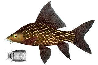 Black sharkminnow Species of fish