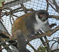 Lac Alaotra Gentle Lemur.JPG