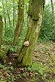 Laetiporus sulphureus (42413970461).jpg