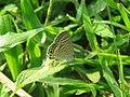 Lampides boeticus - Pea Blue at Aralam Wildlife sanctuary during Aralam butterfly survey 2020 (9).jpg