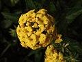 Lantana amarilla (7114173307).jpg