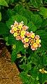 Lantana camera flower.jpg