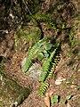 Lanzen-Schildfarn Polystichum lonchitis Grüner Ups Ehrwald-001.jpg