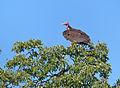 Lappet-faced Vulture (Torgos tracheliotus) (14052165074).jpg