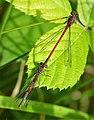Large Red Damsel. female form fulvipes below (49236888483).jpg