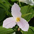 Large White Trillium (Trillium grandiflorum) - Guelph, Ontario.jpg