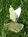 Large Whites mating.JPG