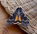 Large Yellow Underwing. Noctua pronuba. - Flickr - gailhampshire.jpg