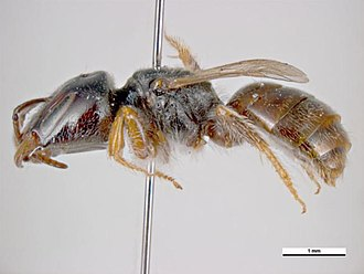 Lasioglossum hemichalceum - L. hemichalceum