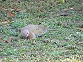 Laughing Dove Foraging 03.jpg
