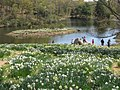 Laurel Ridge Foundation Narcissus Plantings - IMG 6432.JPG