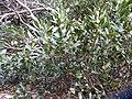 Laurus nobilis L. (AM AK306459-2).jpg
