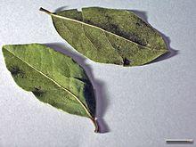 Laurbær Wikipedia