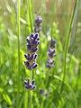 Lavender (9135049505).jpg