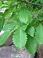 Leaves of Quercus crispula.JPG