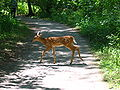 Lemoine-Point-Conservation-Area deer-on-trail-2006aug06.jpg