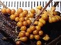 Leocarpus fragilis 56736421.jpg