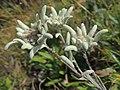 Leontopodium nivale (alpinum) (36732952751).jpg