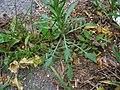 Lepidium densiflorum leaf (03).JPG