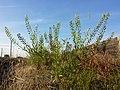 Lepidium virginicum (subsp. virginicum) sl6.jpg