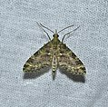 Lepidoptera (37182161825).jpg