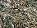 Les Plantes Cultivades. Cereals. Imatge 1781a.jpg