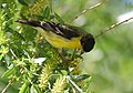 Lesser Goldfinch (33107475533).jpg