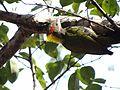 Lesser Yellownape - Picus chlorolophus - DSC01210.jpg