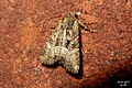 Lesser common rustic (BG) (37276908900).jpg
