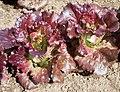 """Lettuce Mini Heads """"Cherokee"""" (7331114674).jpg"""