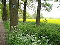 Leur (Wijchen, Gld, NL), landscape with rapeseed field.JPG