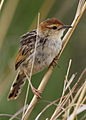 Levaillant's Cisticola, Cisticola tinniens at Rietvlei Nature Reserve, Gauteng, South Africa (15657115716).jpg