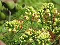 Libidibia coriaria - Divi-divi Tree - Caesalpinia coriaria - WikiSangamotsavam 2018, Kottappuram, Kodungalloor (16).jpg