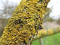 Lichen (16959071855).jpg
