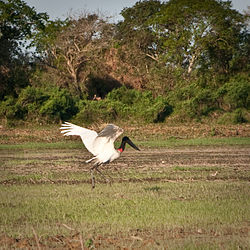 meaning of jabiru