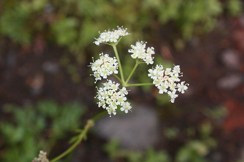 File:Ligusticum grayi 5916.JPG
