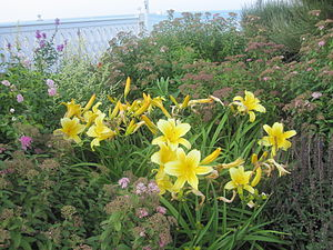 Daylily - Daylilies at the Block Island resort in Rhode Island.
