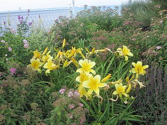 Daylily - Daylilies on Block Island, Rhode Island.