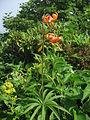 Lilium medeoloides 3.JPG