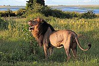 Lion (Panthera leo) old male Chobe.jpg